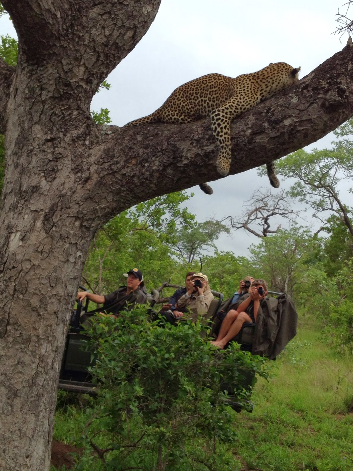Sabi Sands - Another group joins us to watch the leopard