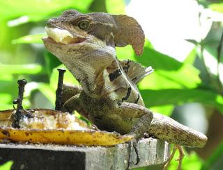 Basiliscus basiliscus, Common Basilisk