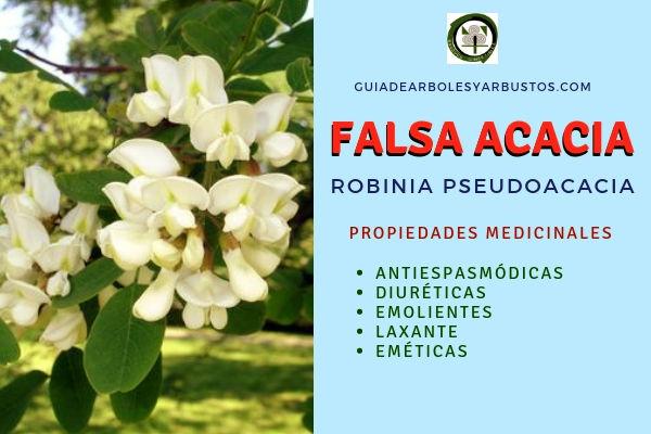 La falsa acacia tiene propiedades antiespasmódicas, diuréticas, emolientes, laxantes
