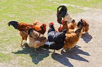 Comment nourrir vos poules ?