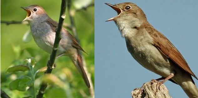 Burung Holic Download Tembakan Suara Burung Nightingale