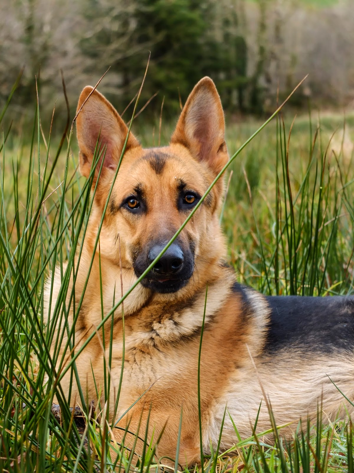 Portrait of German Shepherd Nala lying in tall grass looking at the camera.