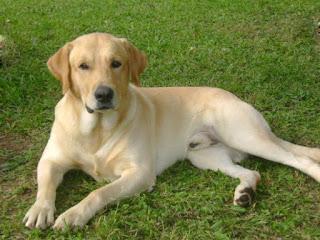 Labrador: Un perro inteligente.
