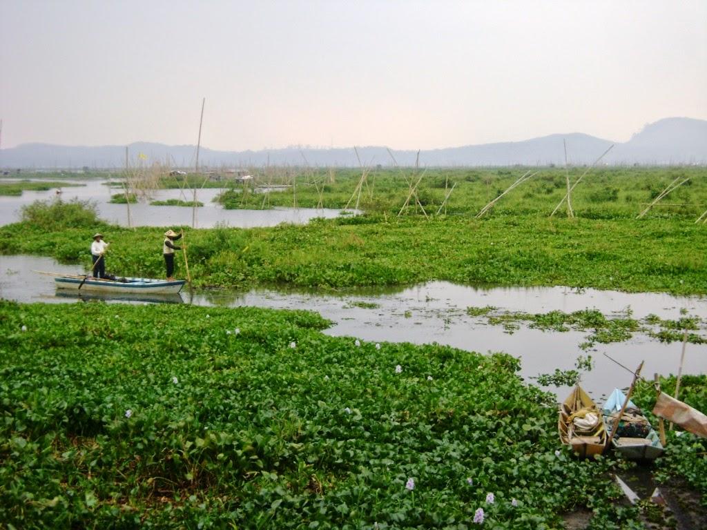 Pemanfaatan dan Klasifikasi - Eceng Gondok Danau Rawa Pening Ambarawa