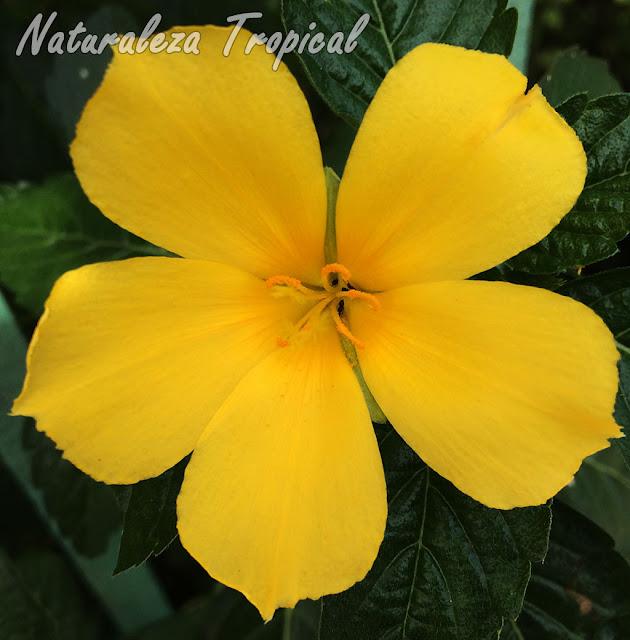 Flor típicas de la Marilope cubana, Turnera ulmifolia