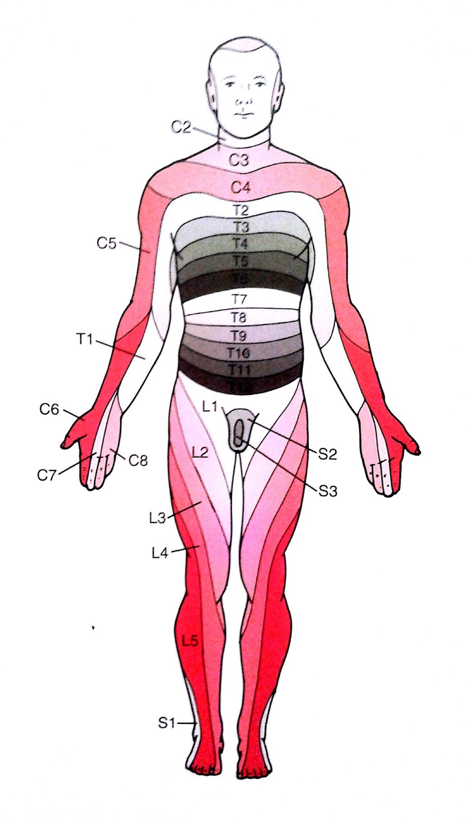 Fisioterapia para todos: Dermatomas