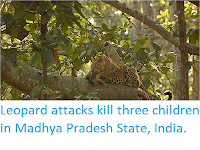https://sciencythoughts.blogspot.com/2018/01/leopard-attacks-kill-three-children-in.html