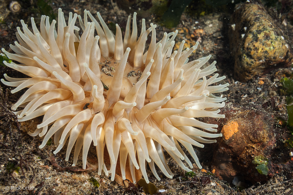 the clone specific segregation of sea anemone Sea anemones belong to the scientific class anthozoa the starburst anemone is solitary and does not clone itself species of anemones found in tide pools.