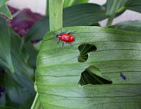 Lily Leaf Beetle Adult (Lilioceris lilii)