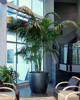 Kentia Palm - Howea forsteriana | How to care your plants ...