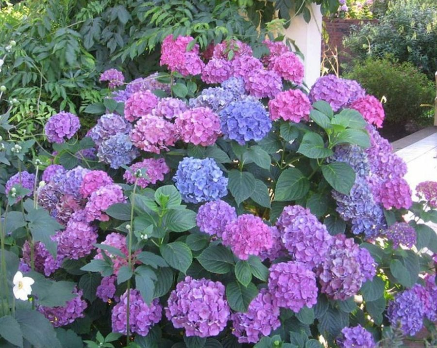 Como cuidar las hortensias en maceta casa dise o - Como cuidar las hortensias en maceta ...