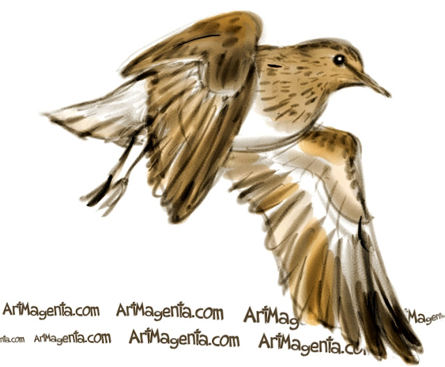 Temminck's stint sketch painting. Bird art drawing by illustrator Artmagenta