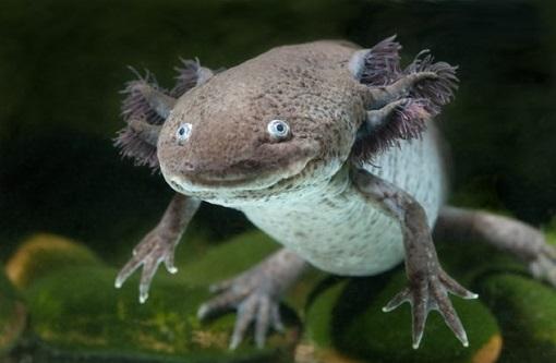 Aksolotl (Axolotl) Hakkında Bilgi