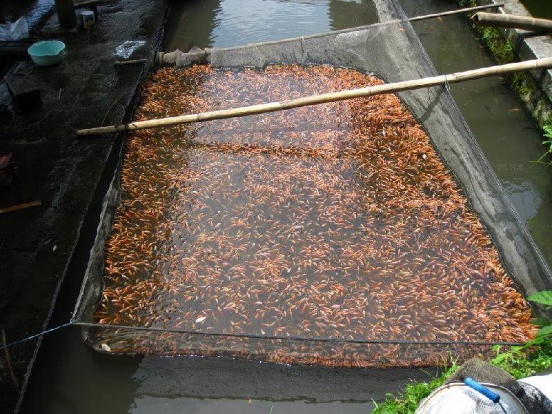 ikan nila merah super