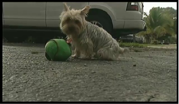 Lost Dogs Found Leo Yorkie