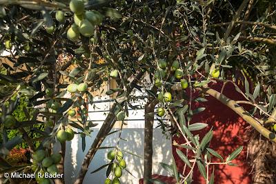 Unser Olivenbaum in Utjeha