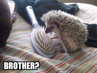 Funny Hedgehog Picture - Brother?
