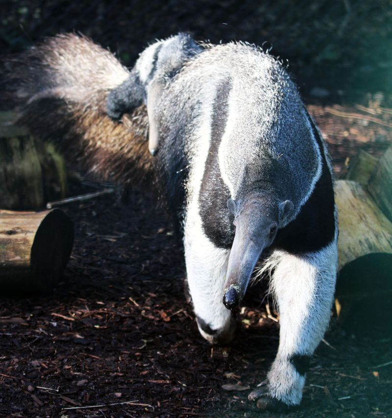 Baby Animals: Anteater Pup 9