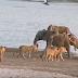 Επίθεση από 14 λιοντάρια σε ελέφαντα με ανατρεπτική εξέλιξη... (video)