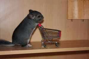 Funny Chinchilla Interesting New Pictures Funny And