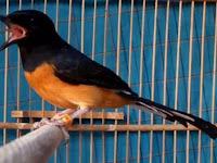 Cara Memilih Burung Murai untuk Dipelihara