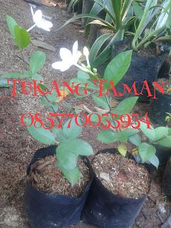 Harga Pohon Melati, Melati Yasmin, Melati Jepang, Melati Belada, Melati Putih