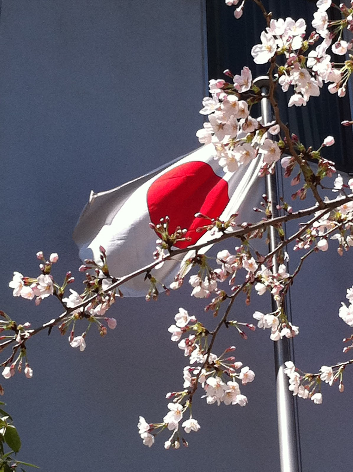 school cones for japan cherry blossom in japan. Black Bedroom Furniture Sets. Home Design Ideas