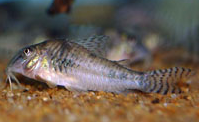 Jenis Ikan Corydoras aurofrenatus