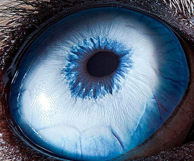 Olho esqueredo de Cão husky