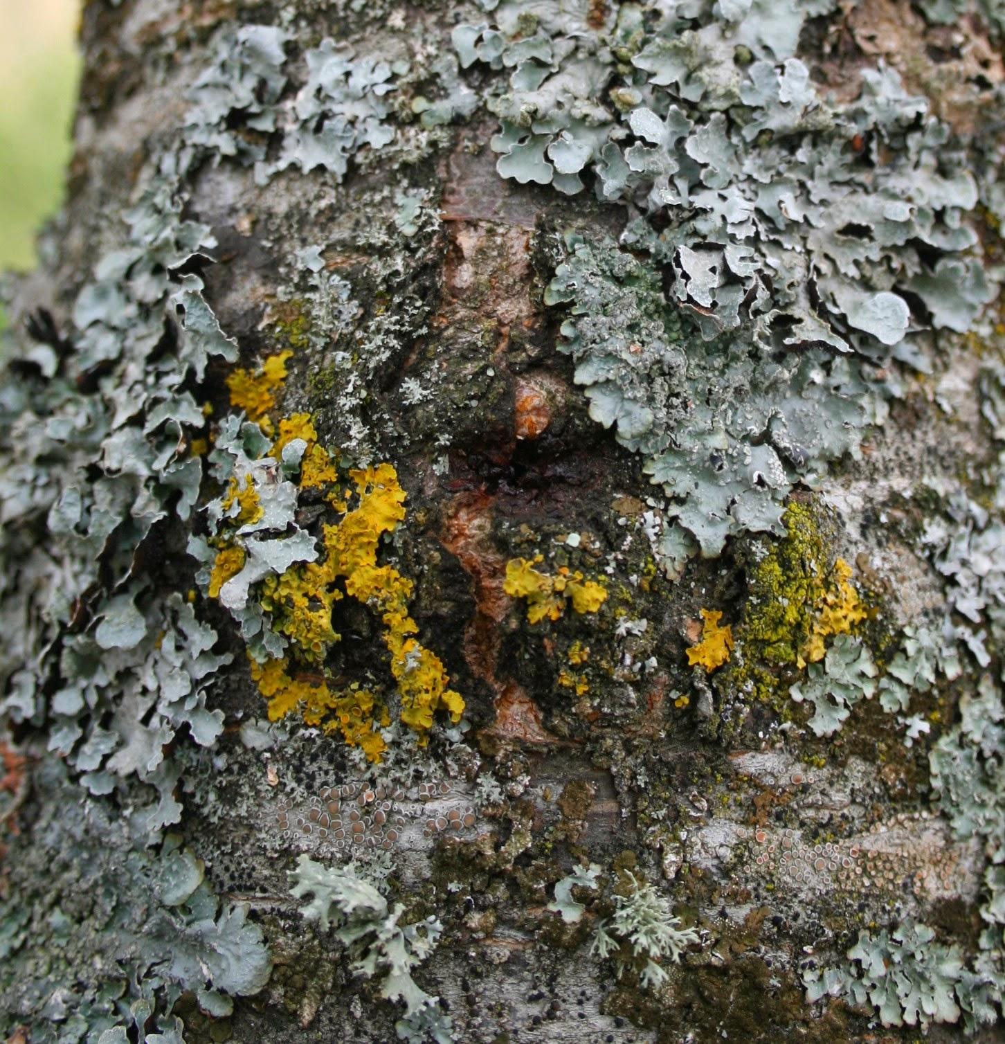 La symbiose des lichens - Tuer un arbre avec de l acide ...
