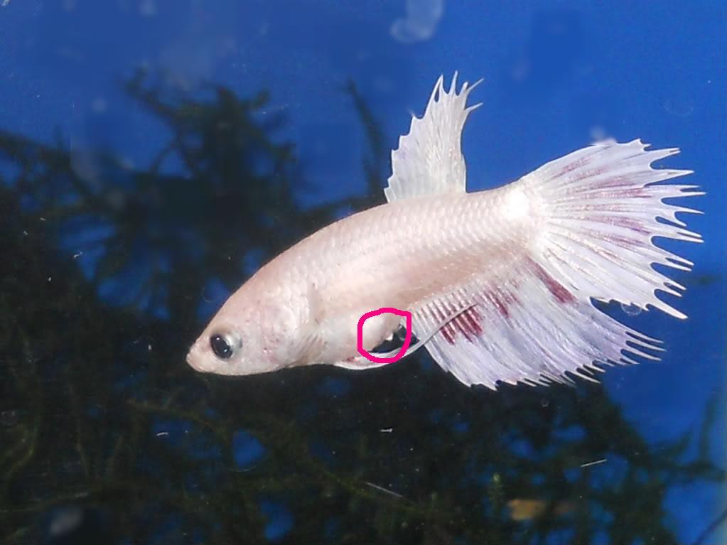 What Da Fish Betta Fish