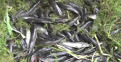 belut kolam terpal, cara budidaya ikan gabus lengkap, gabus, gurame di kolam terpal, lele kolam terpal, nila di kolam terpal, patin di kolam terpal pdf, ternak ikan gabus di kolam terpal,