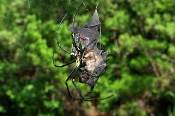 spider eating a bat caught in web