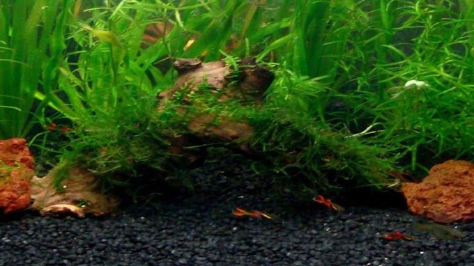 Vesicularia var. Creeping Moss