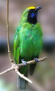 Mengenal Dekat Jenis Burung Cucak Ijo Medan Dan Ciri Fisiknya