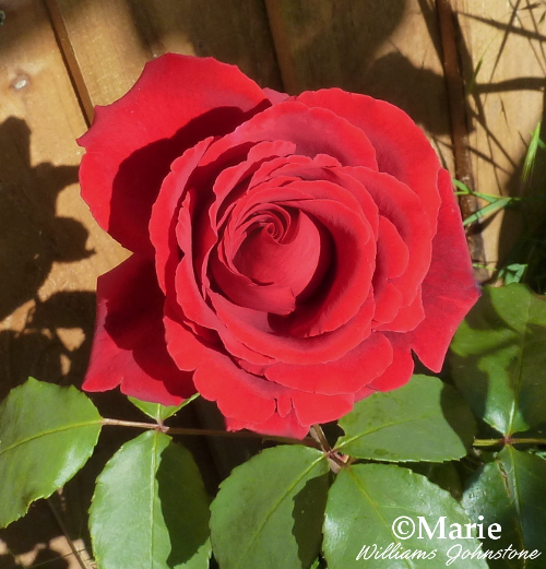 Large red rose flower on shrub bush in full bloom