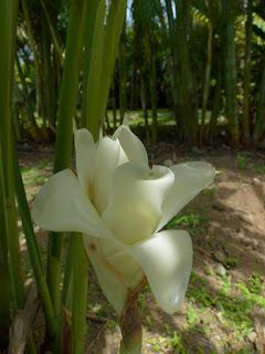 Rose de porcelaine blanche - Etlingera elatior