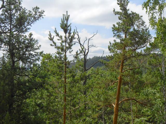 Высохшее дерево на горе Сугомак