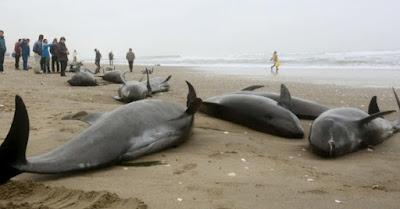 """Le balene """"testa di melone"""" arenate sulla spiaggia di Ibaraki"""