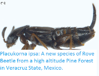 http://sciencythoughts.blogspot.co.uk/2016/12/placukorna-ipsa-new-species-of-rove.html