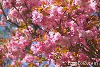 Image: Pink blossom, Saltwell Park, Gateshead (c) FreeFoto.com. Photographer: Ian Britton