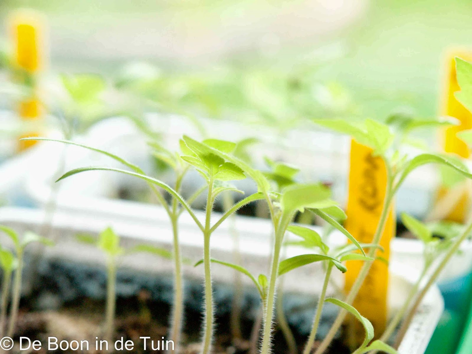 Tomaten zaailingen verspenen moestuin april