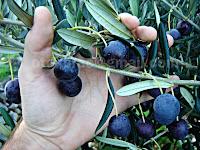 Berba maslina, Pražnica otok Brač slike