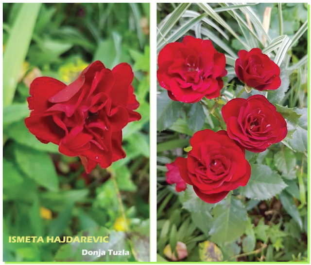 Donja Tuyla, cvjetanje crvenih ruža