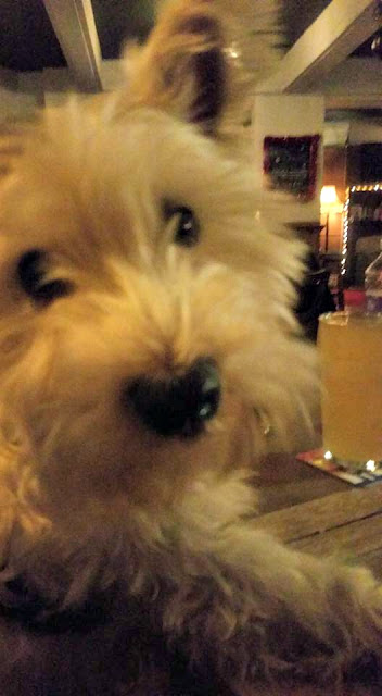 cute westie dog in the pub
