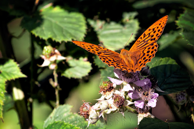Macro image of a Male Silver-washed fritillary on a flower in the sunshine
