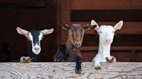 cara ternak kambing, cara usaha ternak kambing, cara bisnis ternak kambing, beternak kambing, ternak kambing modal Rp 5juta, kambing