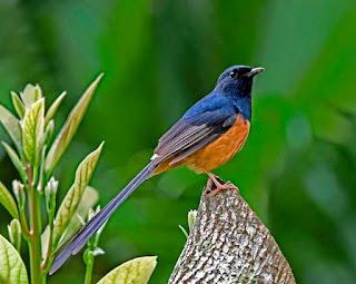 Vitamin Burung Murai Batu Paling Lengkap Dengan Harganya