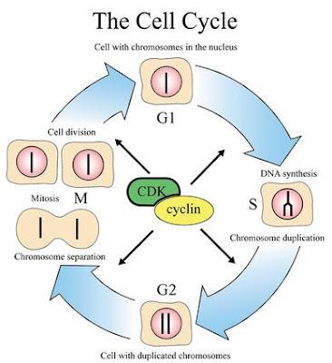 Steps Of Meiosis Diagram Pir Motion Sensor Wiring Uk Definition : Cell Cycle |genetic Engineering Info