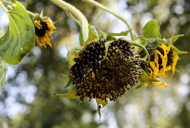 summer, autumn, sunflowers, sunflower seed heads, Anne Butera, My Giant Strawberry